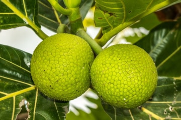 Nutritional content of breadfruit